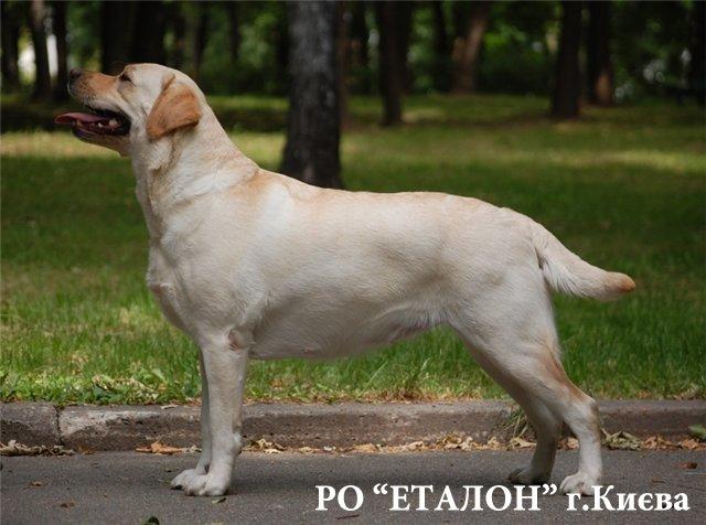 ЛАБРАДОР